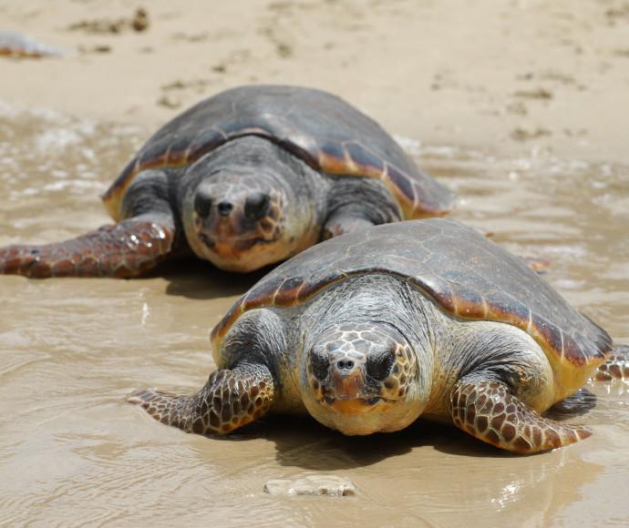 צבי ים, ארכיון