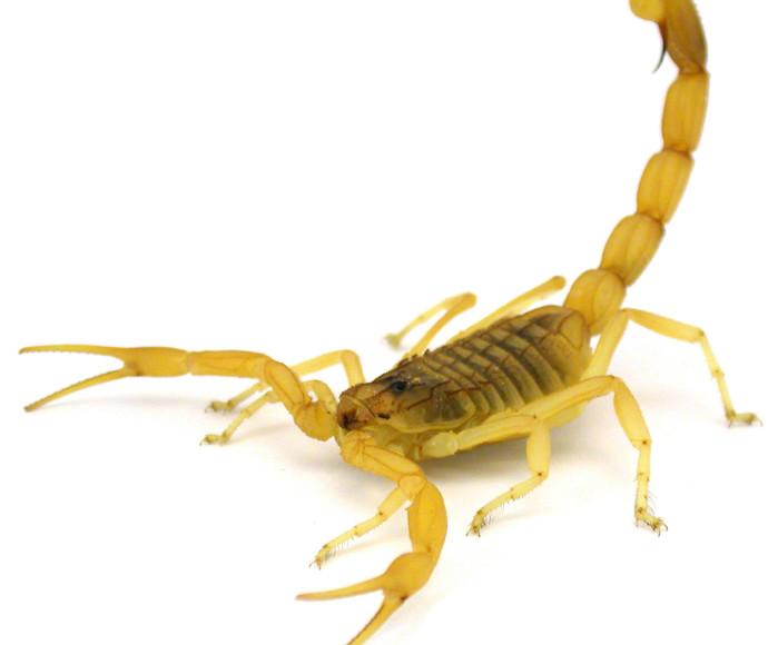 עקרב צהוב