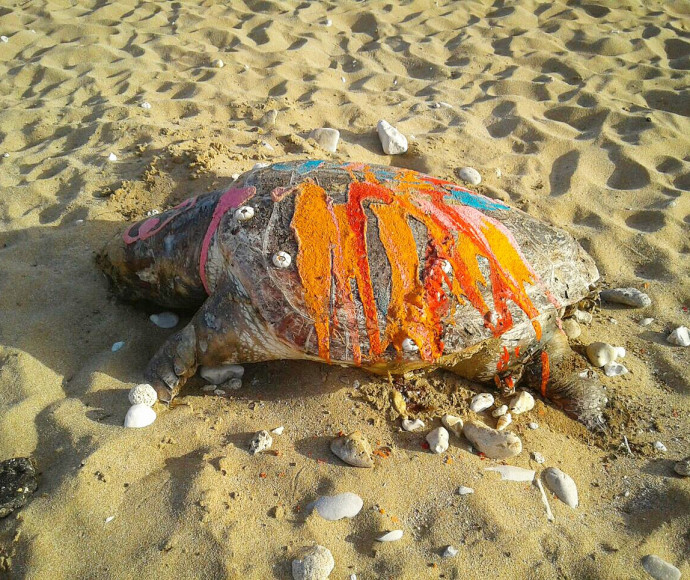 צב ים שהושחת בחוף בצת