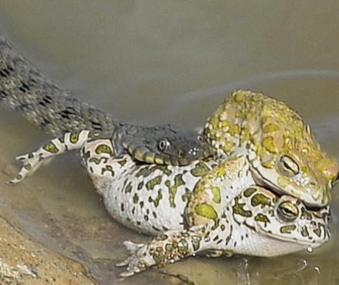 נחש מניאק הפריע לצפרדעים באמצע הסקס