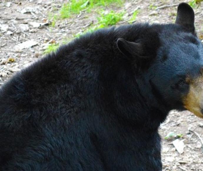 דובים
