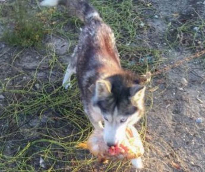 כלב הרג 600 תרנגולות בלילה אחד