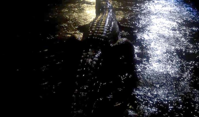 תנין בסמוך לבית מגורים באוסטרליה