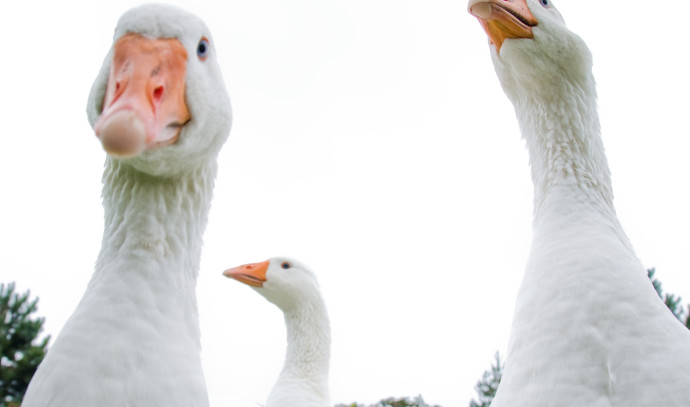 אווזים
