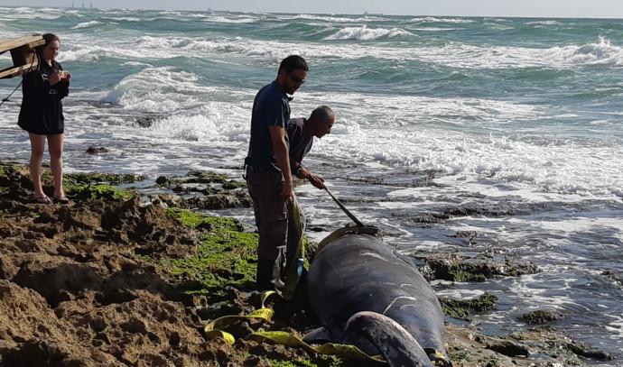 לוויתן שנפלט בחוף דור
