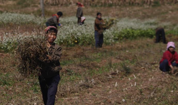 חקלאים בקוריאה הצפונית