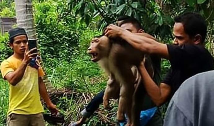 קוף הרג את בעליו