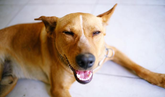 כלב, אילוסטרציה