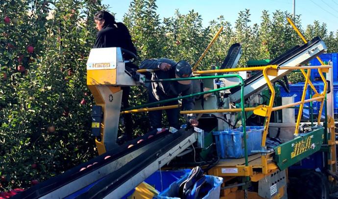 קטיף במטעי התפוחים ברמת הגולן