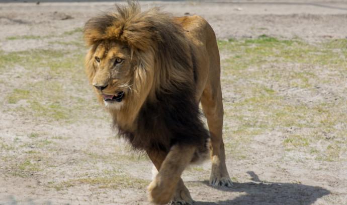 אריה, אילוסטרציה