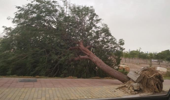 עץ שנעקר ממקומו בשל הרוחות העזות סמוך לאילת