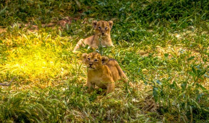 גורי האריות האסיאתיים שאחד מהם נקרא על שם ראש העיר ירושלים משה ליאון