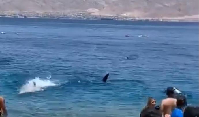 כריש לוויתני בחוף באילת