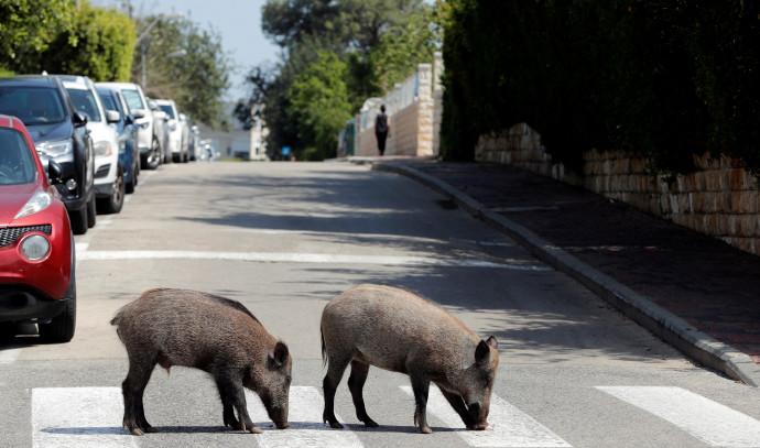 חזירי בר בחיפה