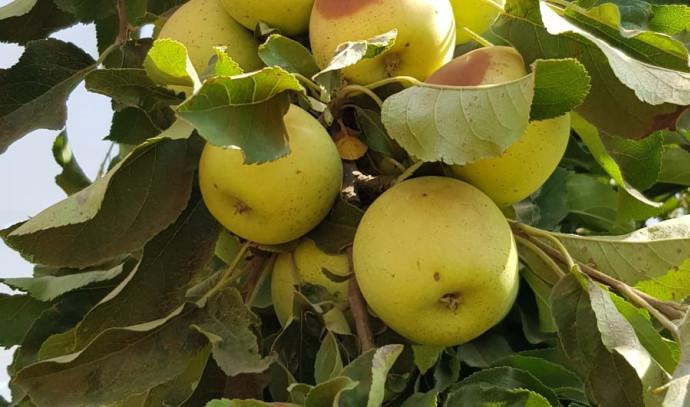תפוחים שנפגעו מהחום הכבד ברמת הגולן