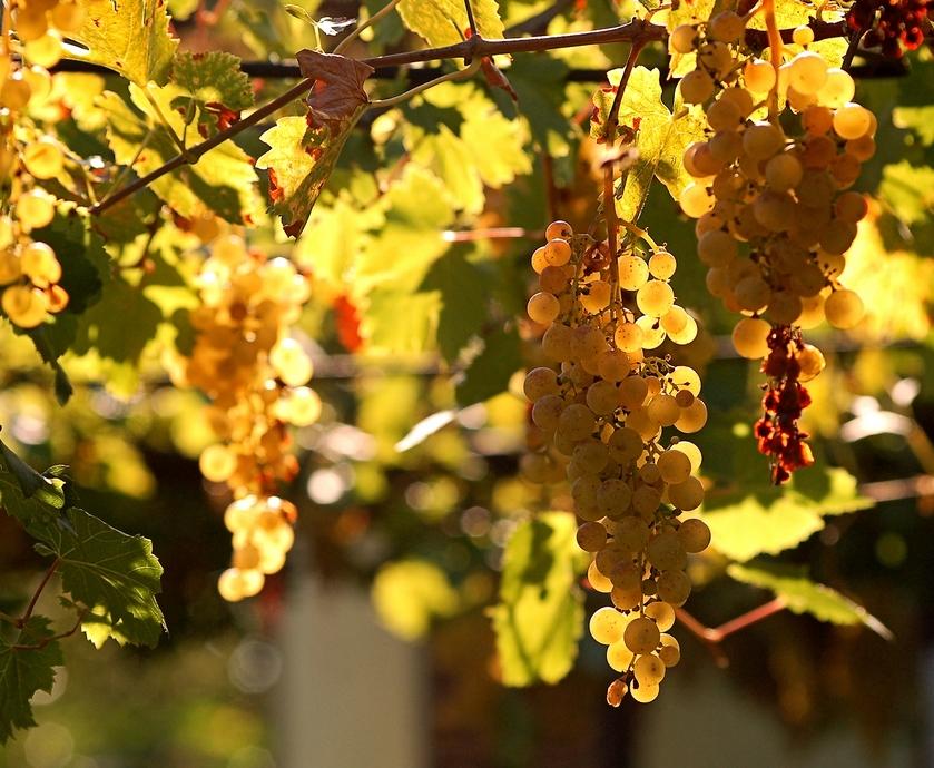 """יינות פירותיים מאוד, פרחוניים, קלילים וקריספיים כמו שמש קיצית כלואה בתוך בקבוק.... (צילומים: יח""""צ, freeimages.com)"""