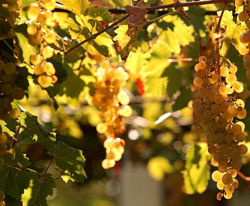 """זני ענבים ערביים - טיזר קטן לחלום גדול עבור תעשיית היין שלנו, כולה... (צילומים: יח""""צ, Dora Horvath. freeimages.com)"""
