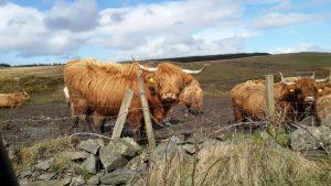 פרות באי איילה בסקוטלנד - צלם שי סרנגה