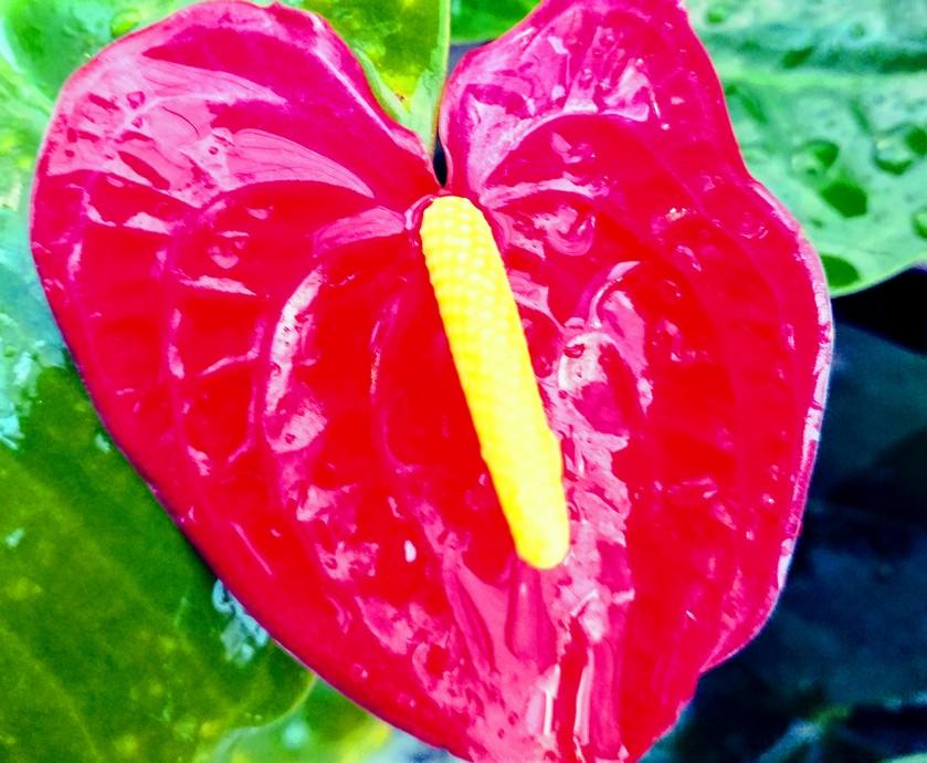בראשית דרכו היה אייקון הלב סמל למתירנות מינית, סוג של גלולת היום שאחרי בגרסה העתיקה (צילום:טל כץ)