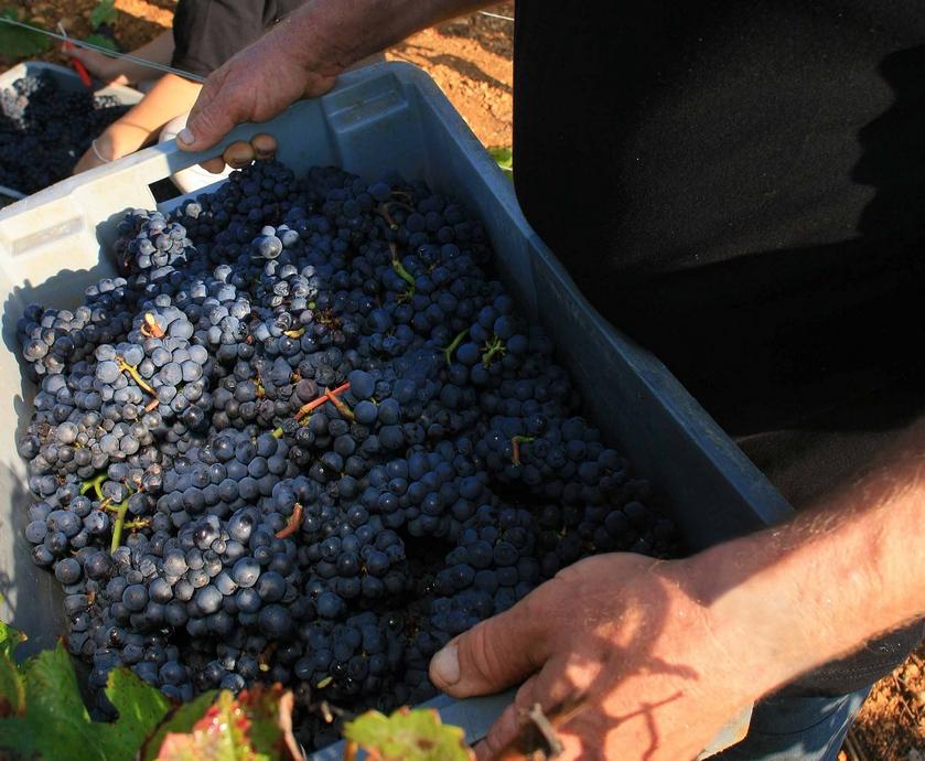 """פינו נואר - הביקוש המטורף ליינות הזן מהחבל האגדי הזה הביא להרחבת התפוצה שלו ולהתפתחות שלו...(צילומים: יח""""צ)"""