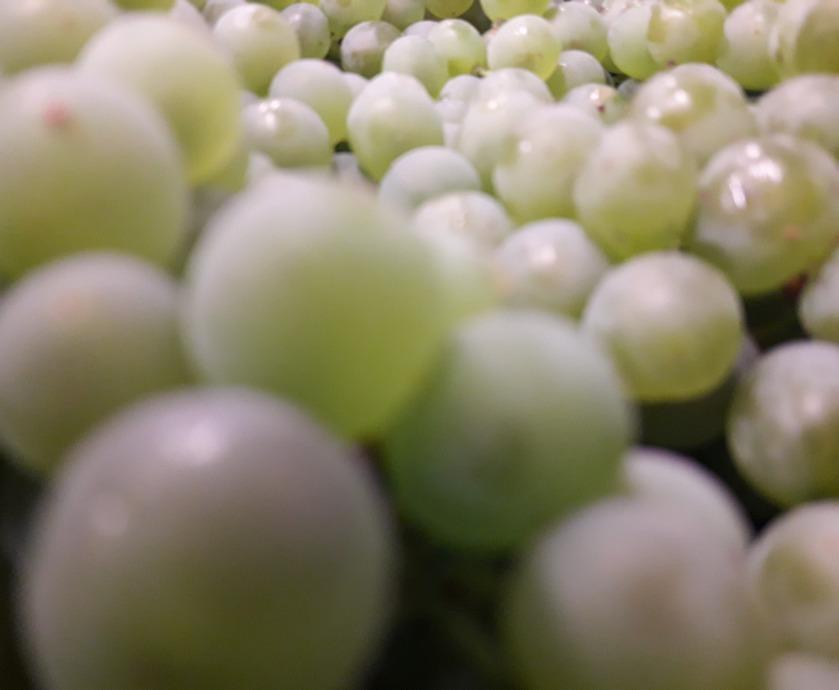 יינות לבנים ורוזה - כיינן אתה יכול לשחק עם זמן הקליפות, בין הפרדה מידית ועד השריה על הקליפות וסחיטה...(צילום: יקב שורק)