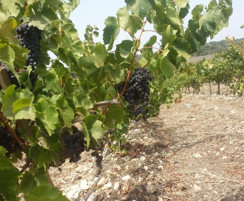 """גרנאש - לגרנאש יש המון מה להגיד ולתרום לכוס היין שלנו ולתעשיית היין המקומית (צילום: יח""""צ, אסף פז, יקב ויתקין)"""