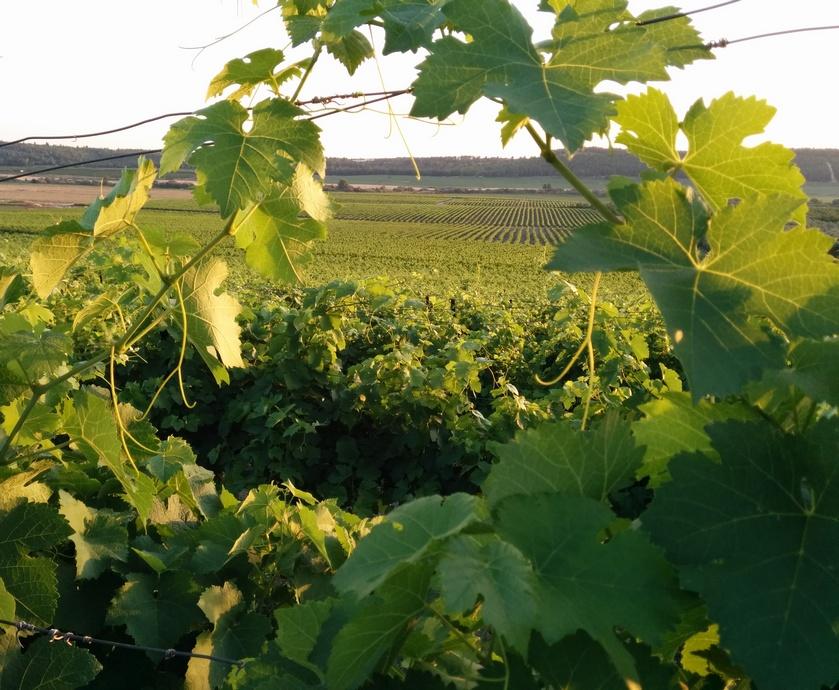"""בלנד קולומברד - לזן הקולומברד תכונות החיוניות לייצור יינות קלילים ורעננים שאפשר לשתות גם כשחם בחוץ... (צילומים:יח""""צ)"""