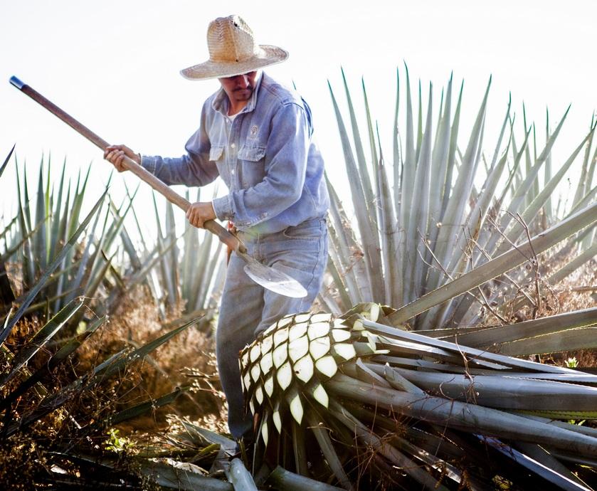 """טקילה בעלייה - ייצור יתר של טקילה יוביל לכך שלא יהיה מספיק אגבה כדי לספק את הביקוש גם בשנים הבאות...(צילום: יח""""צ)"""